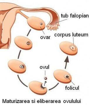 Fiziologia aparatului genital feminin - ciclul reproductiv