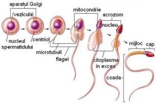 Fiziologia aparatului genital masculin