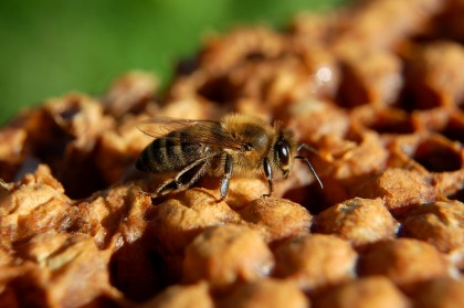 Ce e de făcut dacă te înțeapă o albină?