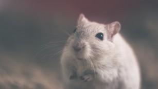Tratament pentru tulburarea obsesiv-compulsivă eficient în câteva minute la șoareci