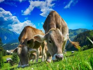 Expunerea timpurie la mediul din fermă ameliorează afecțiunile respiratorii, alergiile și erupțiile cutanate