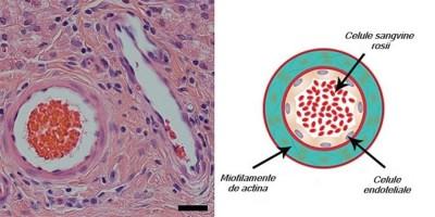 Hidrogel peptidic ce susține vindecarea țesuturilor