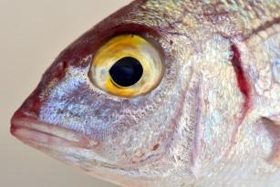Colagenul derivat din solzii de pește ar putea fi eficient în vindecarea rănilor