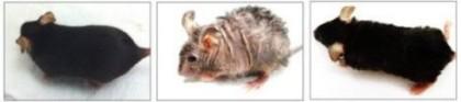 Cercetătorii au făcut reversibile efectele îmbătrânirii pe modele animale