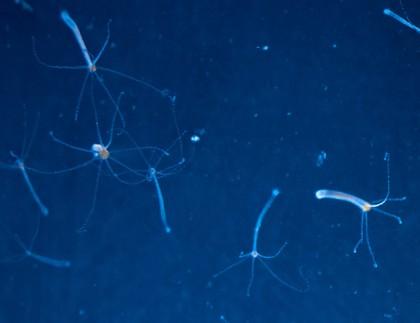 Cercetarea activității neuronale a hidrei ne ajută să înțelegem modul în care a evoluat sistemul nervos la om
