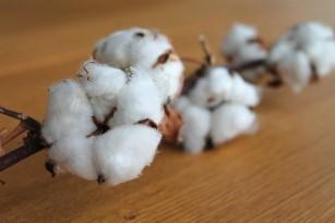 Uleiul din semințe de bumbac - benefic în scăderea colesterolului