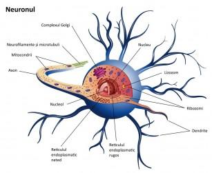 Un nou mecanism induce autorepararea nervilor deteriorați