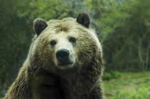 Cercetătorii învață mai multe despre distrofia musculară cu ajutorul urșilor