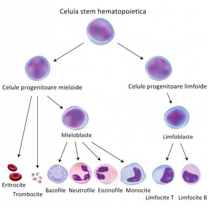 Celule umane îmbătrânite pot întineri prin tehnologia celulelor stem