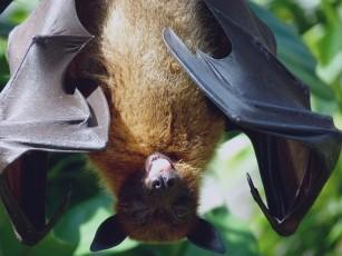 De ce liliecii sunt purtători de coronavirus, dar nu se îmbolnăvesc?