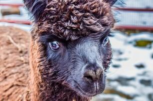 Coronavirus: cheia terapiei poate veni de la un animal domestic