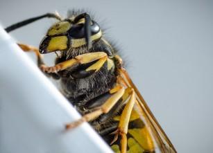 Molecule bactericide fabricate din veninul viespilor