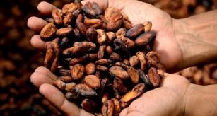 Flavanolii din cacao stimulează oxigenarea creierului și procesele cognitive la adulții sănătoși