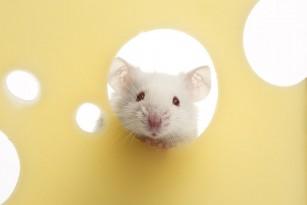 O citokină artificială restabilește capacitatea de mers la șoriceii paralizați
