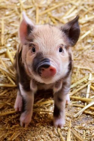 Pui și porci modificați genetic contribuie la o mai bună înțelegere a bolilor umane
