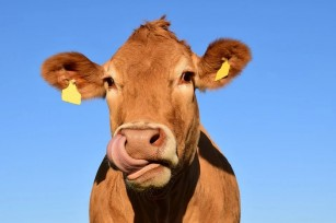 Cercetătorii au identificat în laptele de vacă o toxină din arțar
