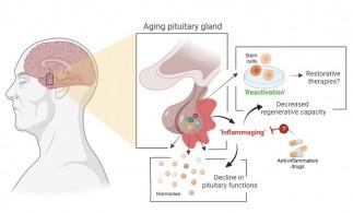 Procesul de îmbătrânire a unei glande endocrine ar putea fi încetinit
