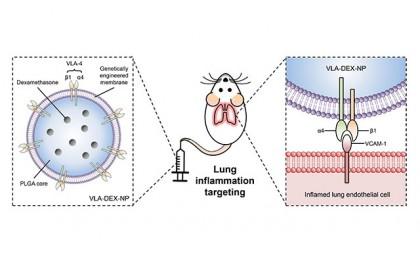O nanoparticulă modificată genetic eliberează dexametazonă direct la nivelul plămânilor inflamați
