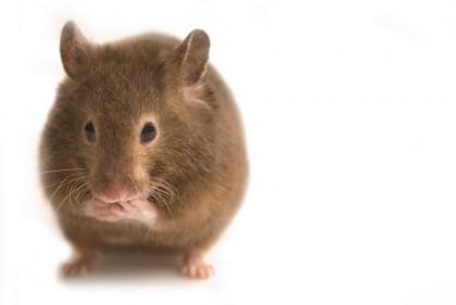 Biologii din Marea Britanie și Austria au descoperit peste 70 de noi gene imprimate în genomul șoarecelui