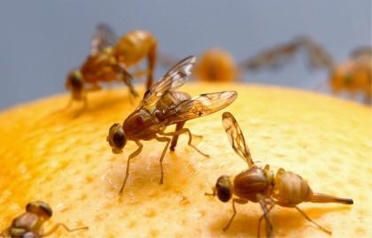 O nouă strategie împotriva cancerului, identificată în urma studiilor pe muște de fructe