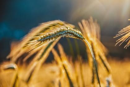 Secara: o alegere mai bună decât grâul pentru sănătate, dar și pentru slăbit