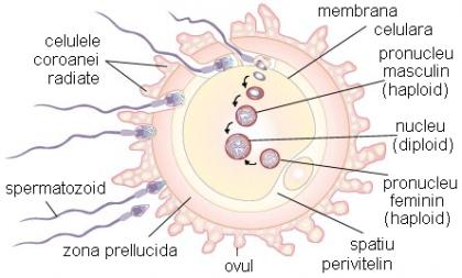 Cum are loc conceptia si dezvoltarea sarcinii