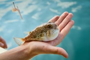 Fugu – o delicatesa japoneza potential fatala