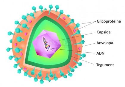 Infectia cu citomegalovirus