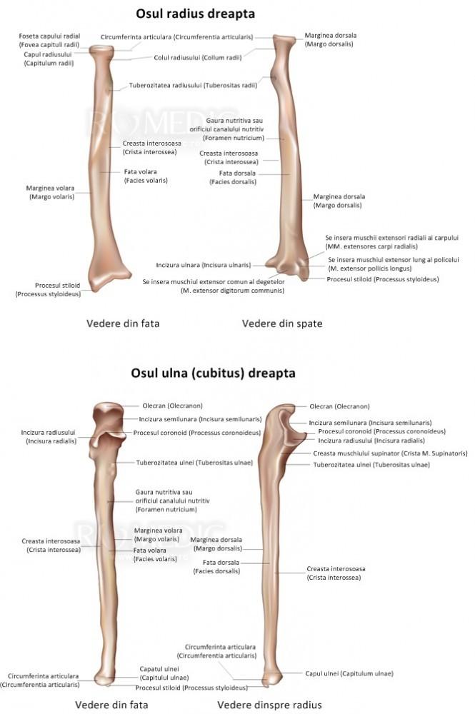 dureri musculare la nivelul articulațiilor antebrațului