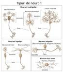 Tipuri de neuroni