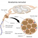 Structura nervului