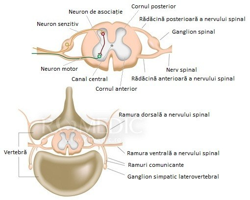 Maduva spinarii - sectiune