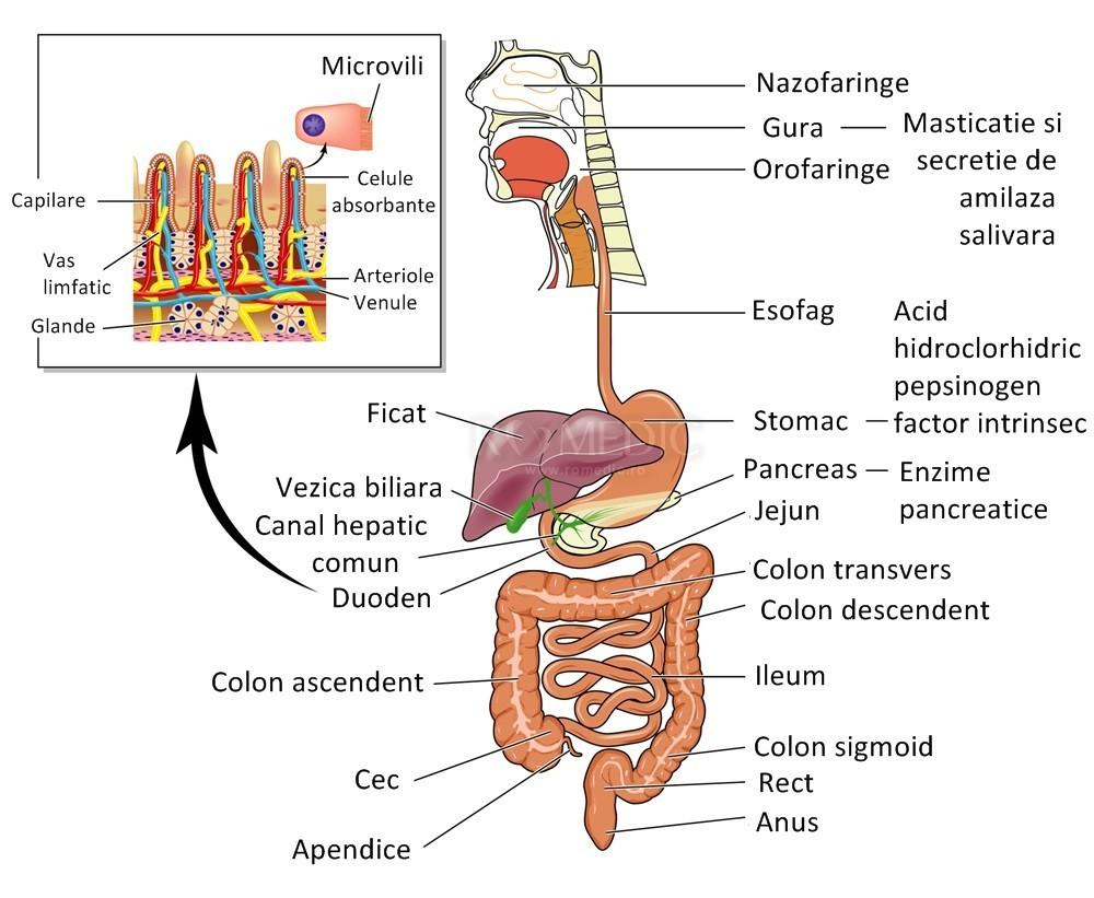 vederea și intestinele
