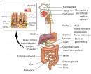 Absorbtia intestinala
