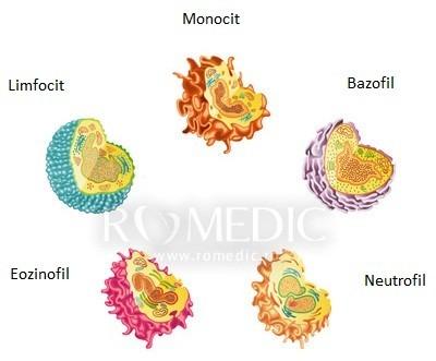 Celulele albe sangvine
