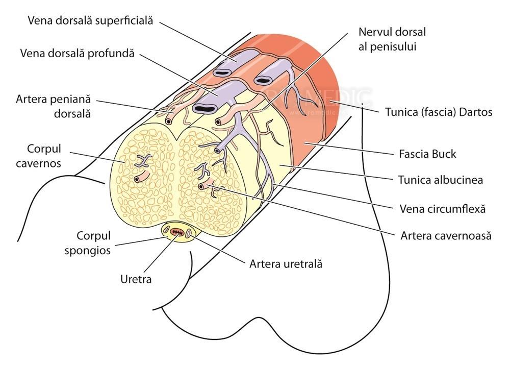 tipurile de penisuri și descrierea acestora)