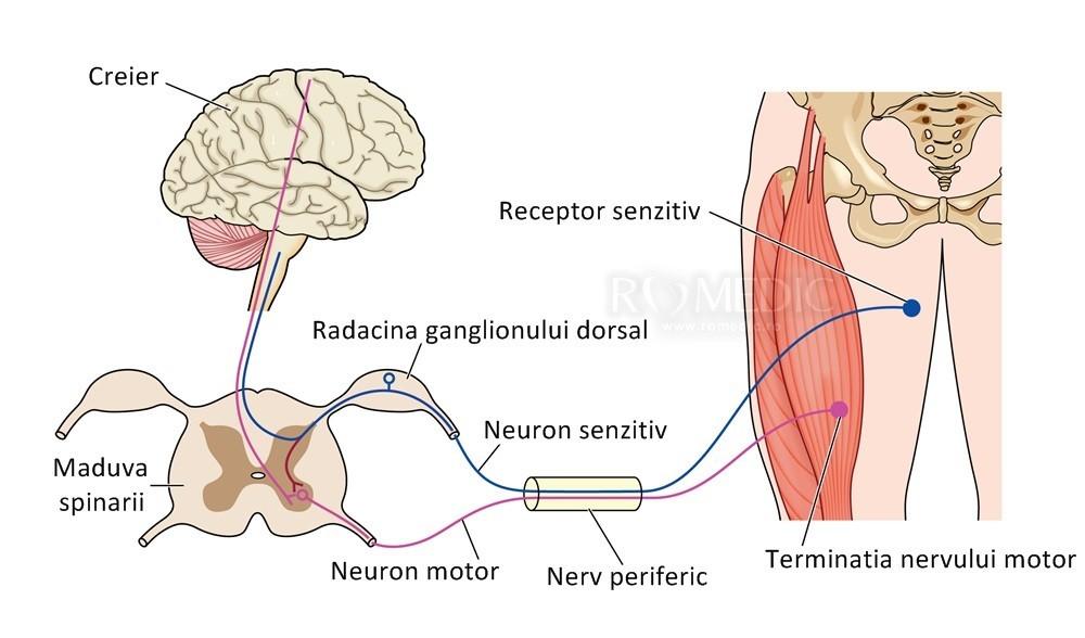 Niedlich Liver Vessels Anatomy Bilder Menschliche Anatomie Bilder ...