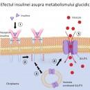 Efectul insulinei asupra metabolismului glucidic