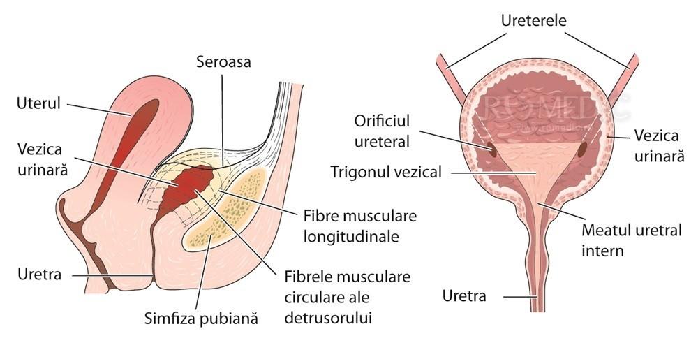 Vezica urinara   Anatomie si fiziologie