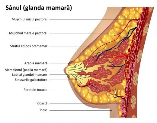 Sânul - Glanda mamară