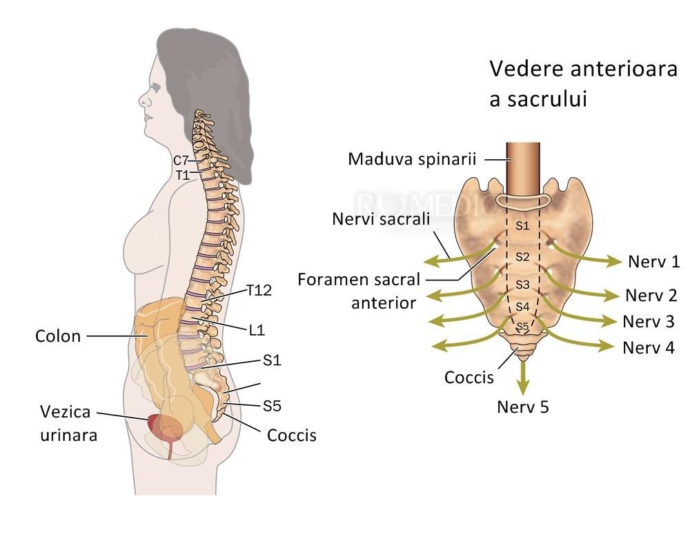 Coloana vertebrala | Anatomie si fiziologie