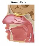 Nervul olfactiv