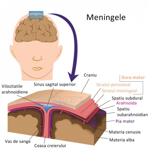 Meninge - Wikipedia