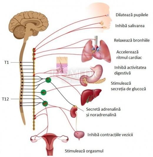 Sistemul nervos simpatic