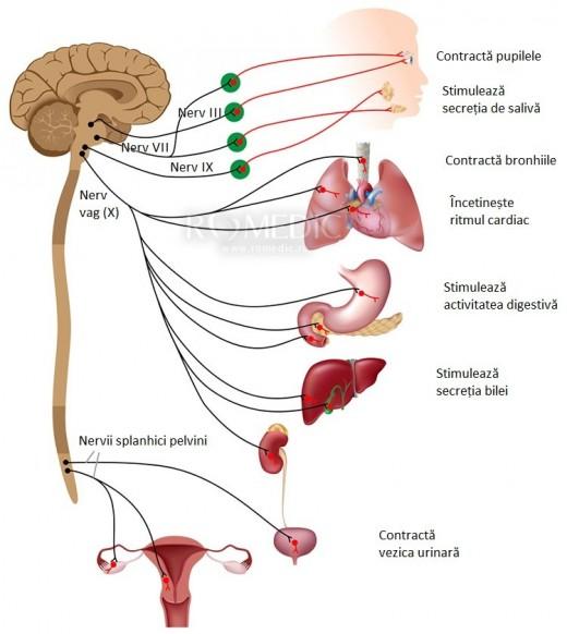 Sistemul nervos parasimpatic