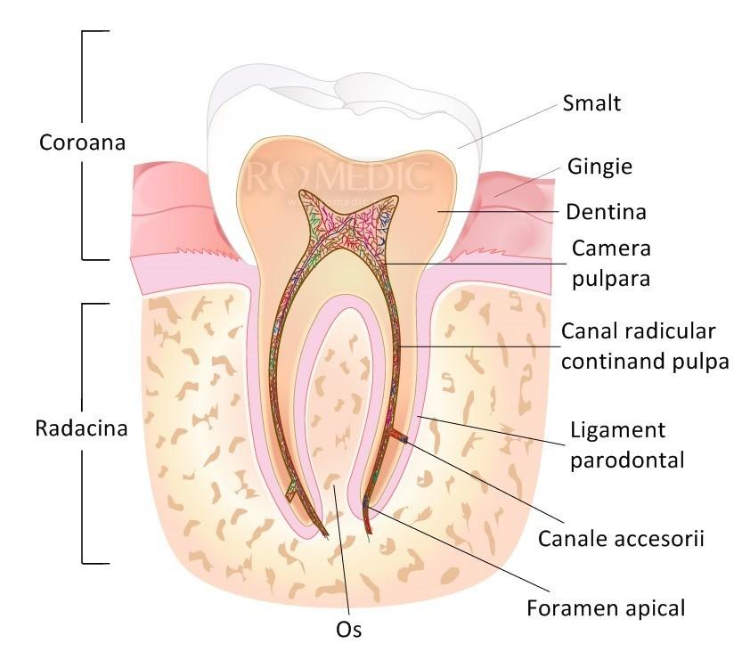 Cavitatea bucala (gura) | Anatomie si fiziologie