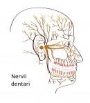 Nervii dinților