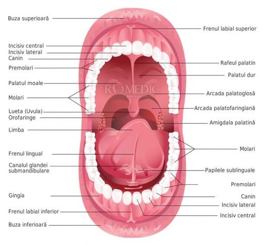 Cavitatea bucala (schema)