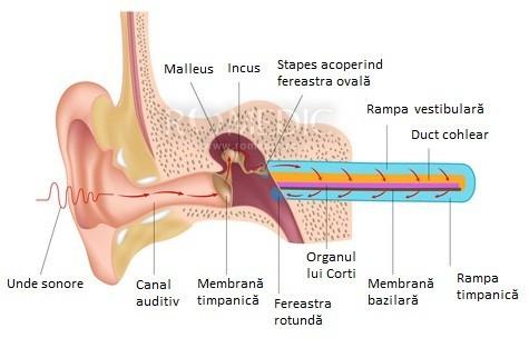 Urechea - transmiterea vibrațiilor sonore
