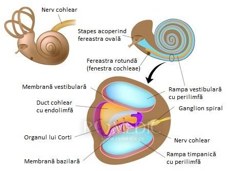 Urechea - structura cohleei